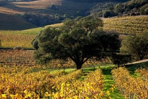 Tree-Fall-Vineyards